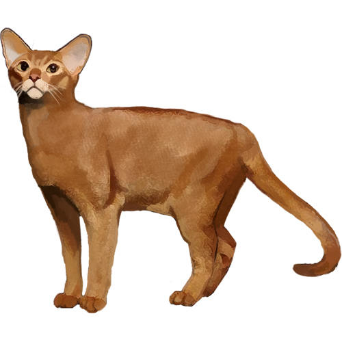Abyssinian - Full Breed Profile