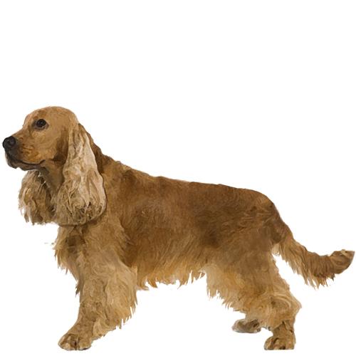 Cocker Spaniel - Full Breed Profile